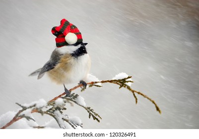 Chickadee perched on a cedar branch with his Christmas hat on in the winter during a snowstorm.