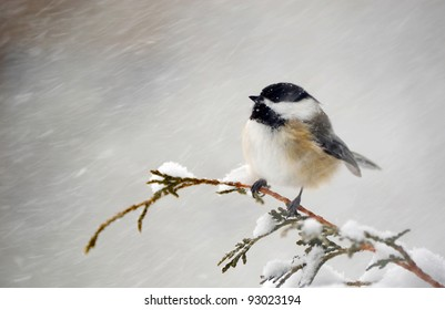 Chickadee perched on a cedar branch in the winter during a snowstorm.