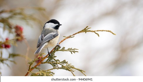 Chickadee perched on a cedar branch in winter.