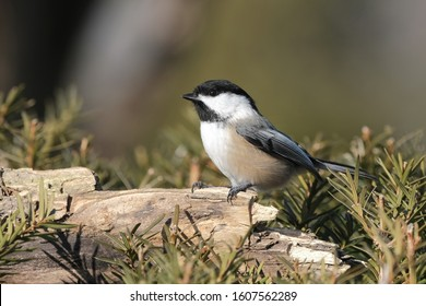 A chickadee perched on a stump.