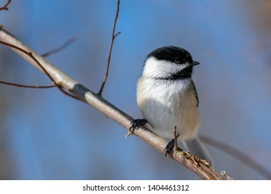 Chickadee (Poecile atricapillus) perching on a tree branch in winter.