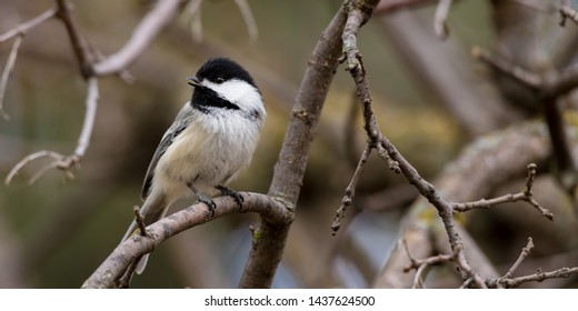 Chickadee sitting on the branch, one of the prettiest little birds.