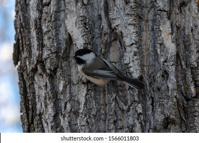Chickadees in Winter at Bowness Calgary