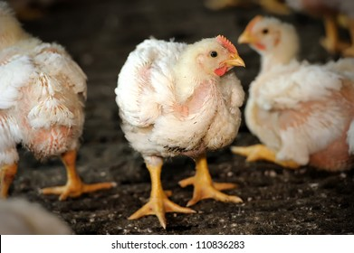 Chicken (25 days old) in poultry farm, selective focus.
