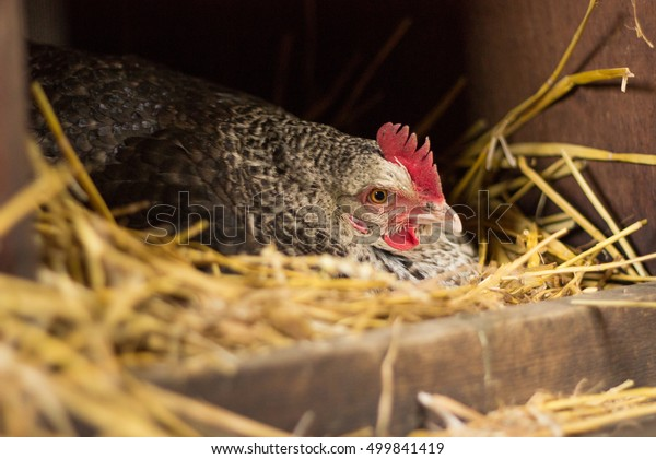 Chicken brooding eggs in straw nest