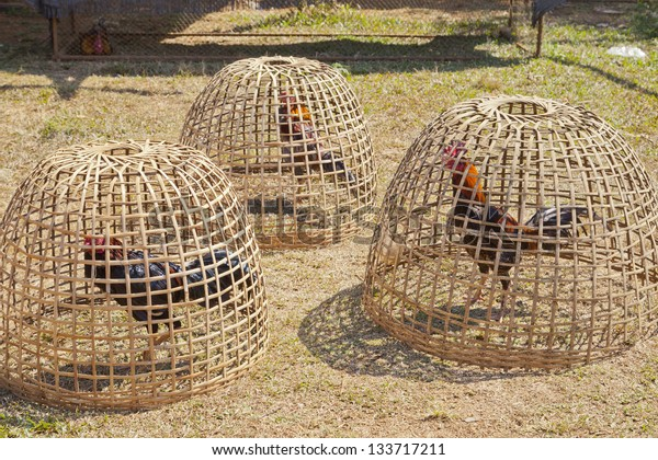 chicken in cage made from weave bamboo