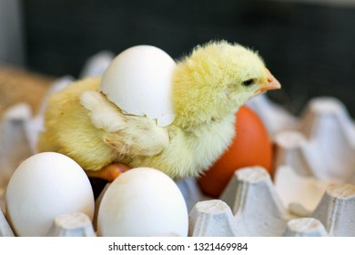The chicken close up, hatched from egg