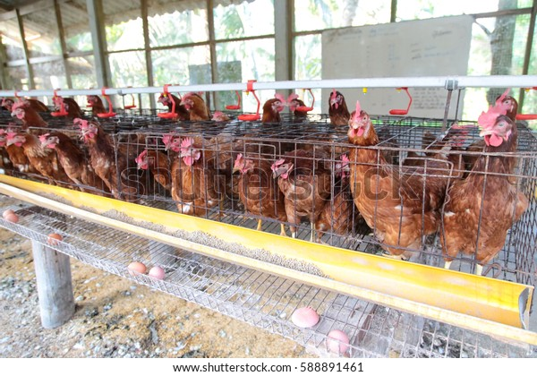 chicken egg farming livestock
