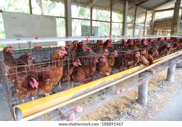 chicken egg farming livestock
