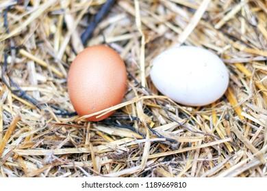 Chicken egg lies on the grass
