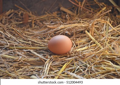 a chicken egg on straw nest lay by a rhode island red hen