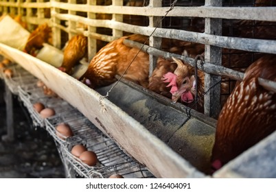Chicken eggs in a cage