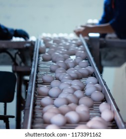 chicken eggs go through the transporter and the worker settles the eggs in special trays, packing of chicken eggs, production, poultry farm