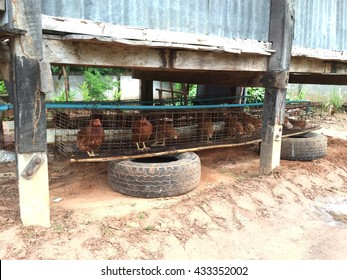 Chicken eggs in the henhouse