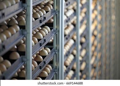 Chicken eggs in incubator