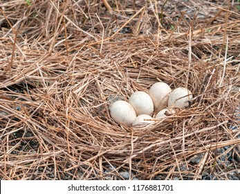 Chicken eggs is on chicken nest,it's made from straw , this nest is a natural chicken nest on a lot of small stones ,this image in natural and chicken eggs concept