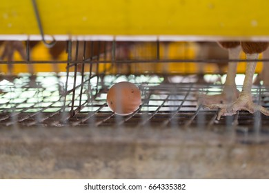 Chicken farm, chicken breeder and production of Chicken for eggs.