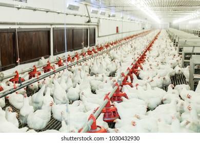 Chicken farm, chicken feeding. Indoors farming
