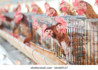 Chicken farm, hen egg.