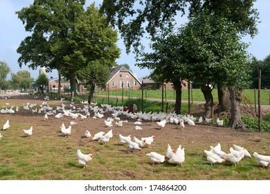 Chicken farm with many free land chicken around