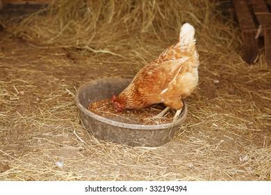 Chicken feeding on corn in a barn
