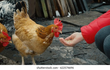 chicken feeding from woman's hand
