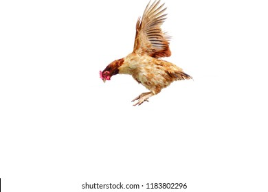 Chicken flies on a white background, cock spreading on the air.