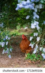 Chicken in the garden walking freely