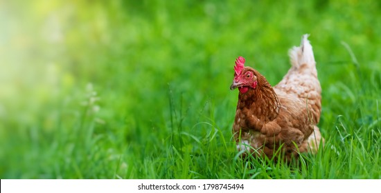 chicken in grass on a farm. Hen on a traditional free range poultry organic farm grazing on the grass with copy space or for banner.