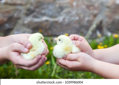 Chicken in hand. The small newborn chicks in the hands.