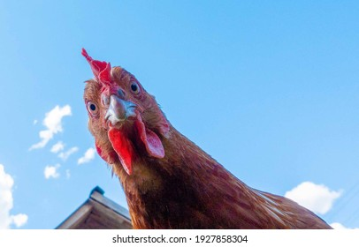 Chicken head looking at the camera from above close up