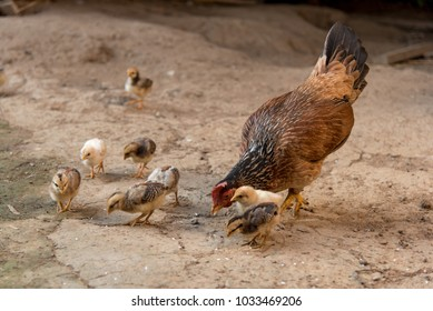 Chicken hen and chick are eating rice on floor