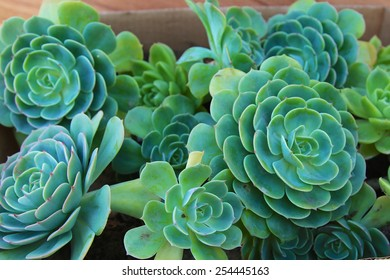 Chicken and hen succulents planted in a planter: mature succulents and succulent offspring