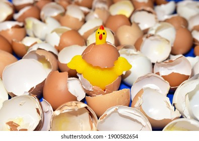 Chicken in a hen's egg among the broken empty eggs. Broken egg and born chick. Сhicks ran away from the chicken mother. Farming and agriculture concept. Breeding birds at home