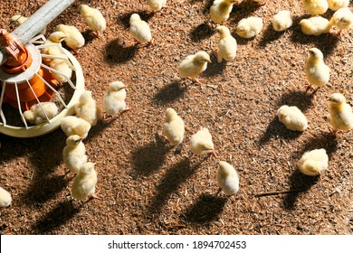 chicken hicks in a poultry farm where chicken is raised for meat and other products, young chicken hicks in a large room for industrial breeding, close up