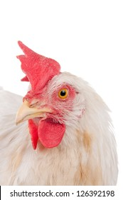 Chicken laying hen white. With a large crest. isolate