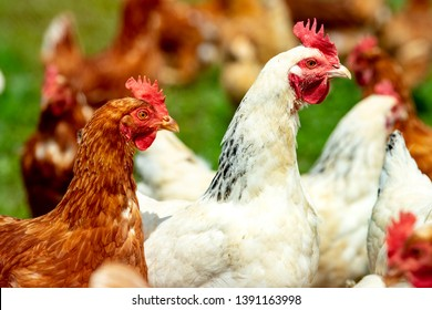 chicken living outdoors in herd