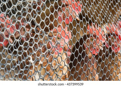 Chicken looking from behind Wire mesh