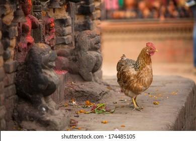 Chicken in Nepalese village.