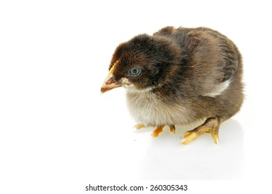 The chicken on a white background