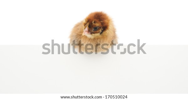 Chicken over blank sign, isolated on white background