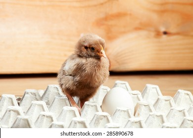 Chicken in a paper tray for egg on a wooden table, a chicken with egg.