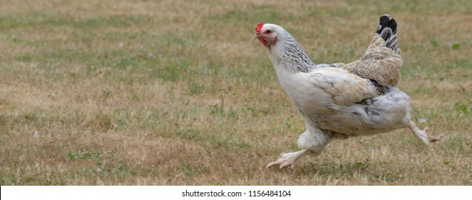 Chicken Running through a Grass Field