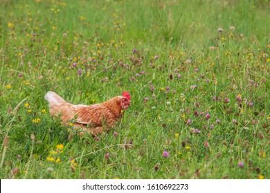 Chicken in short grass in summer