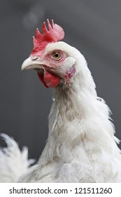chicken staring into the camera and grey background