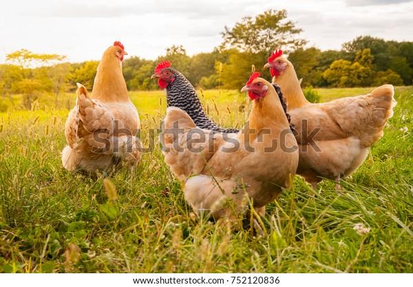 un coucher de soleil de poulet