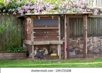 Chickens in a backyard coop kept to provide the family with fresh eggs