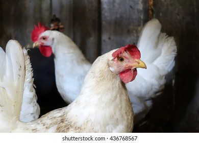 Chickens in the barn