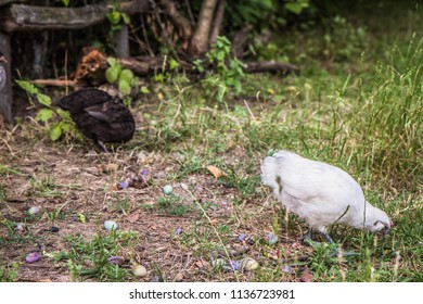 Chickens being fed in a yard