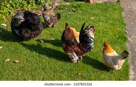 chickens and cockerel in minature